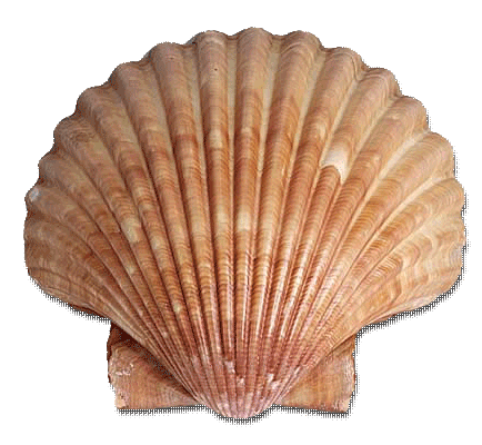 scallop.png