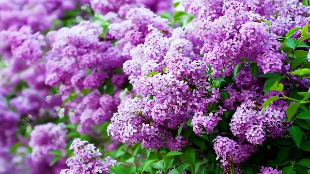 000-640-164481289-lilac-wallpapers