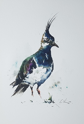 A Lapwing, watercolour by Graham Kemp