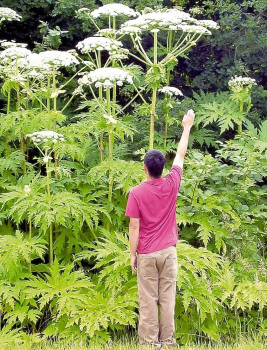 poionous-giant-hogweed