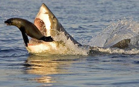 great white shark eating a seal